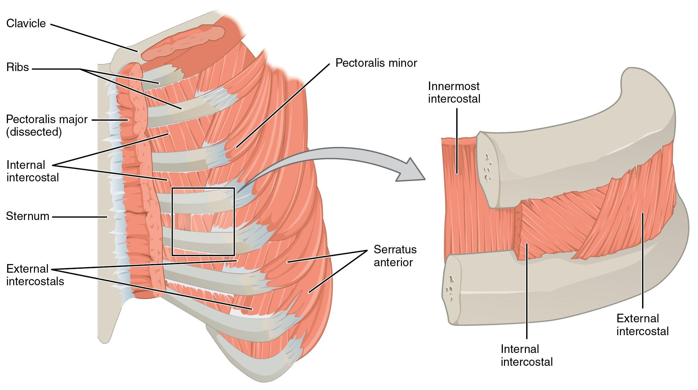 external and internal intercostal muscles | rubba dub dub | Pinterest