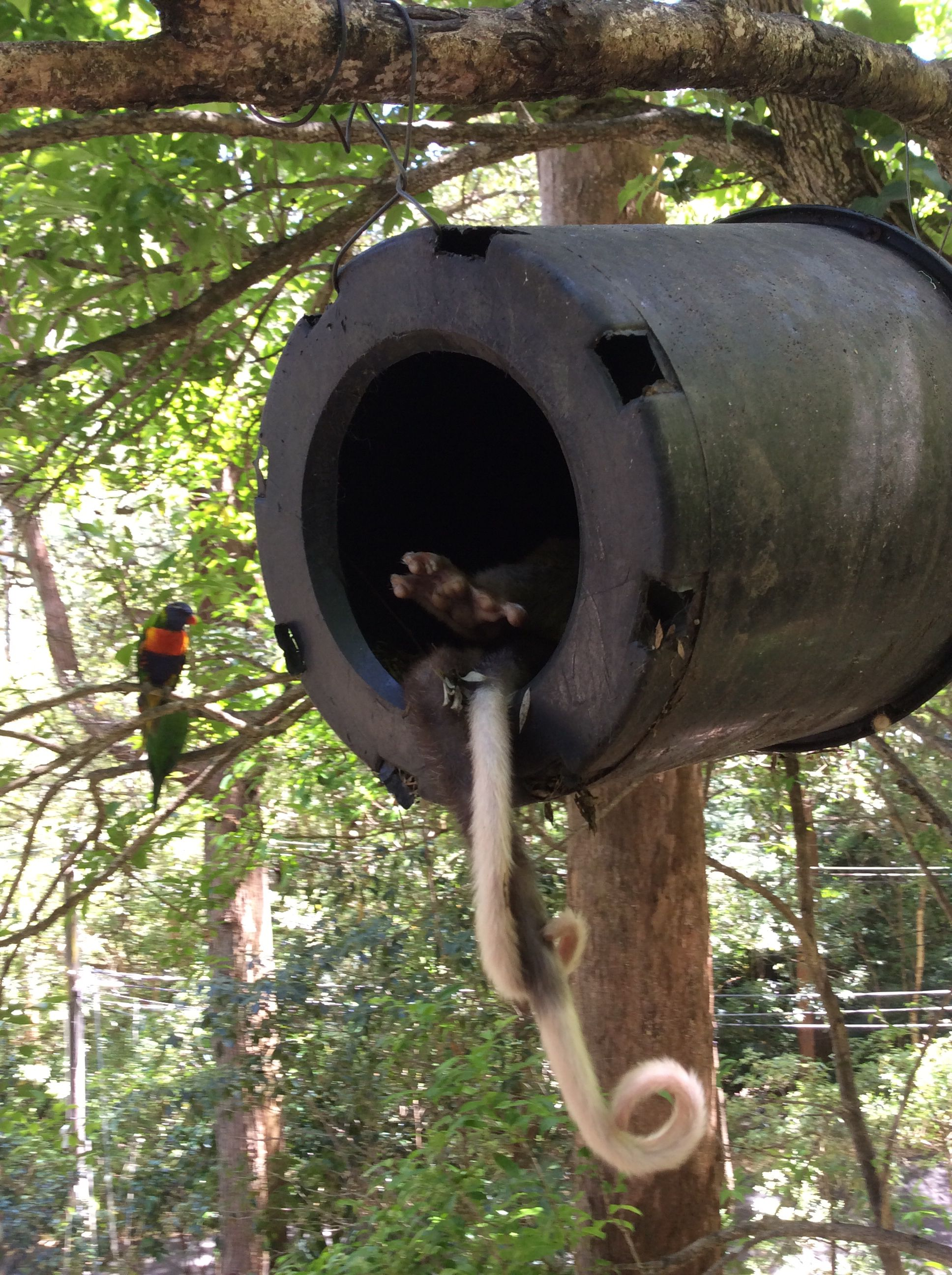 two possums sharing the possum house sydney backyard feathered