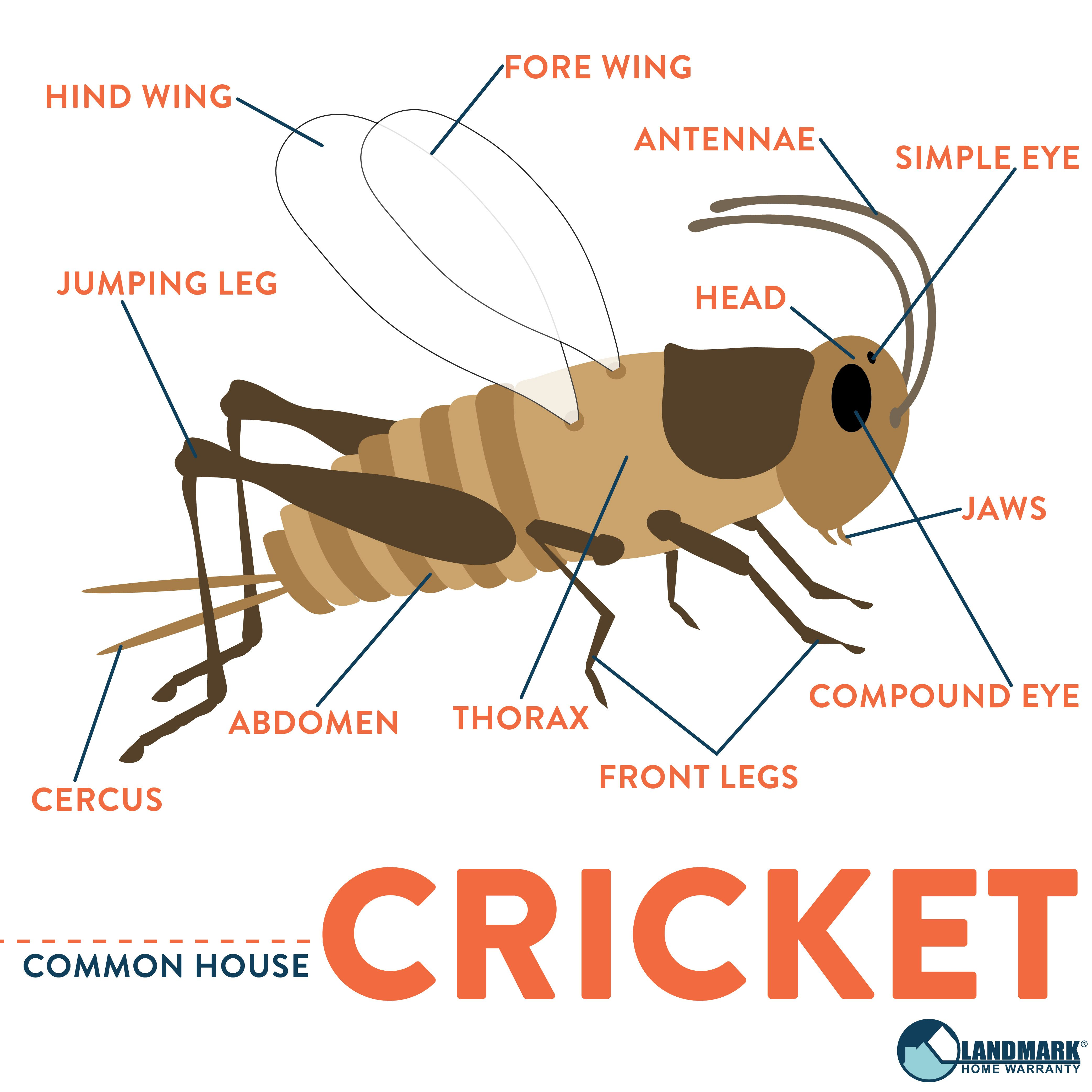 What Does A Cricket Look Like Here S A Handy Diagram To Help You Determine If The Insects In Your Home Are Crickets Cricket Infestation Infestations Learning