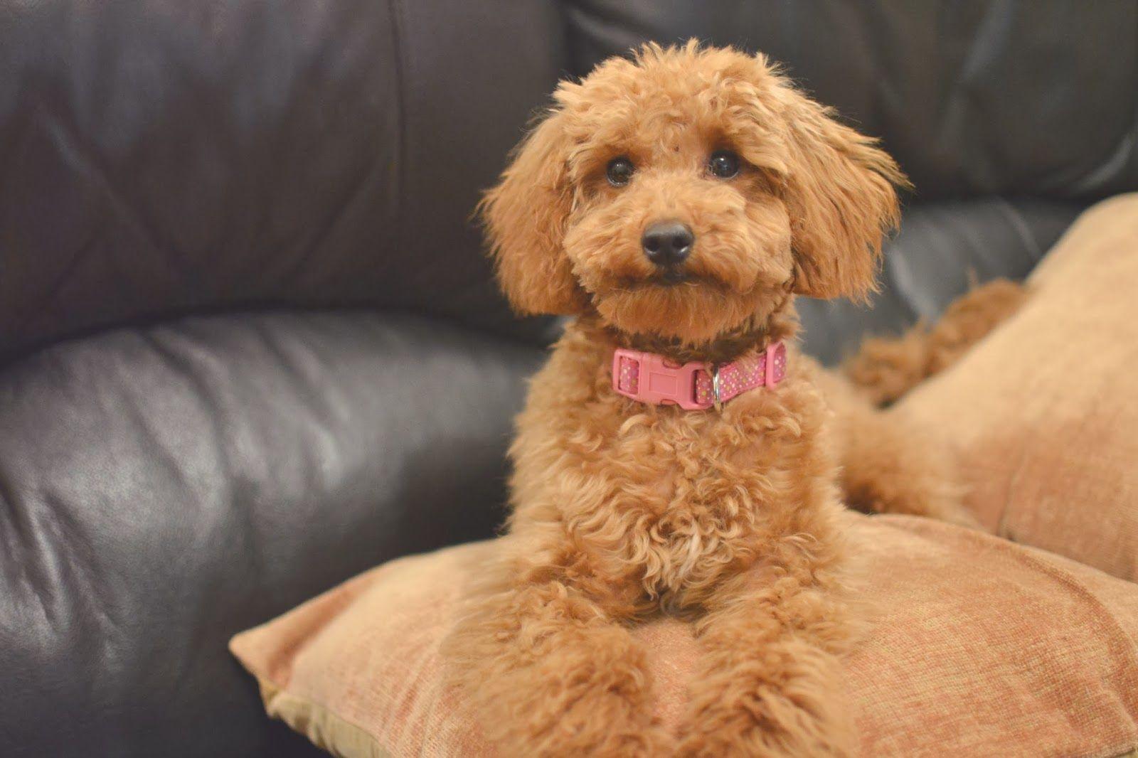 Miniature Poodle Bonnie S First Haircut Poodle Haircut Poodle