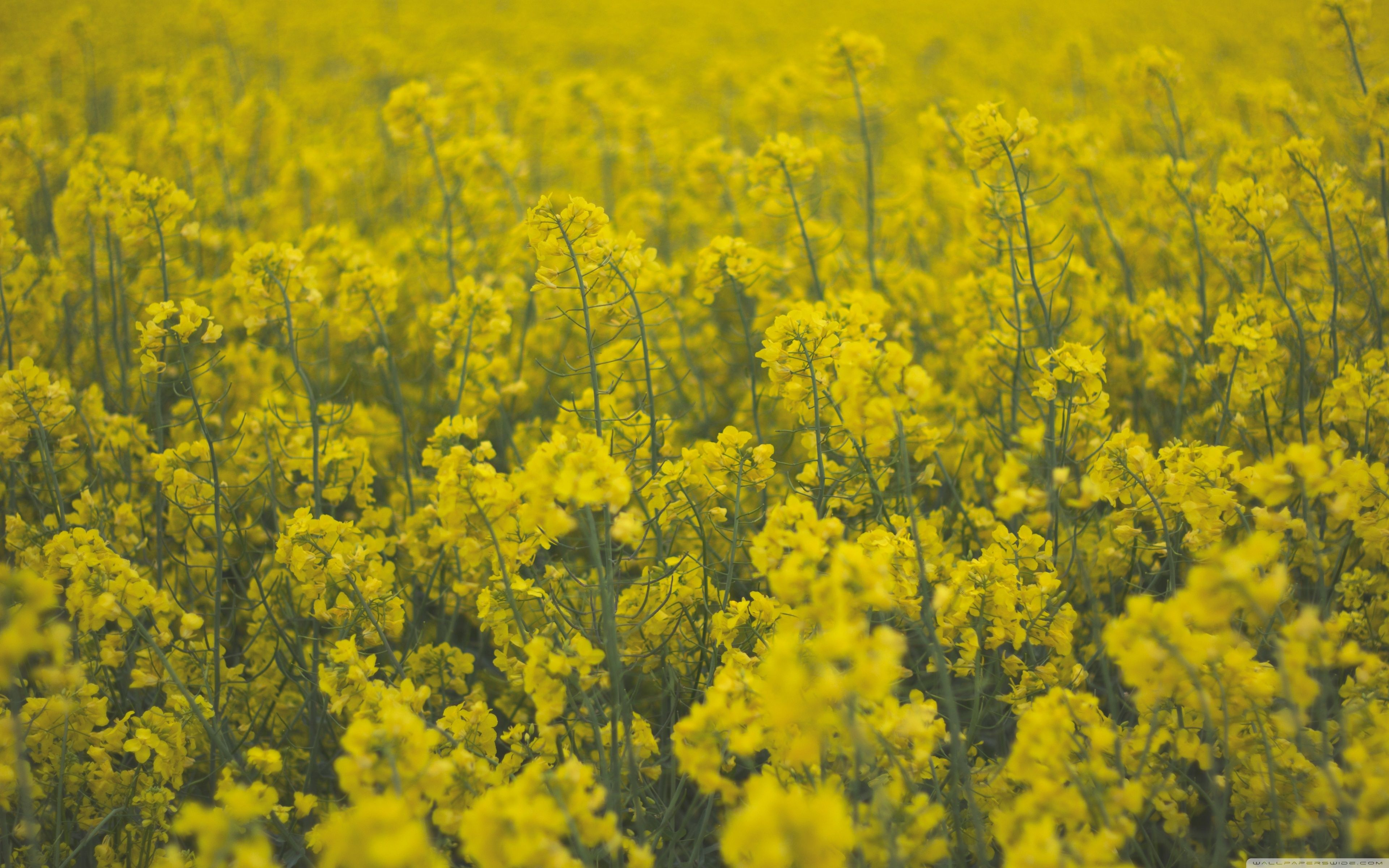 Mustard Flower Hd Wallpaper