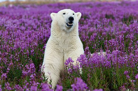 The bear is just gorgeous in the field of purple flowers.