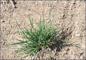 Identification of mature grass