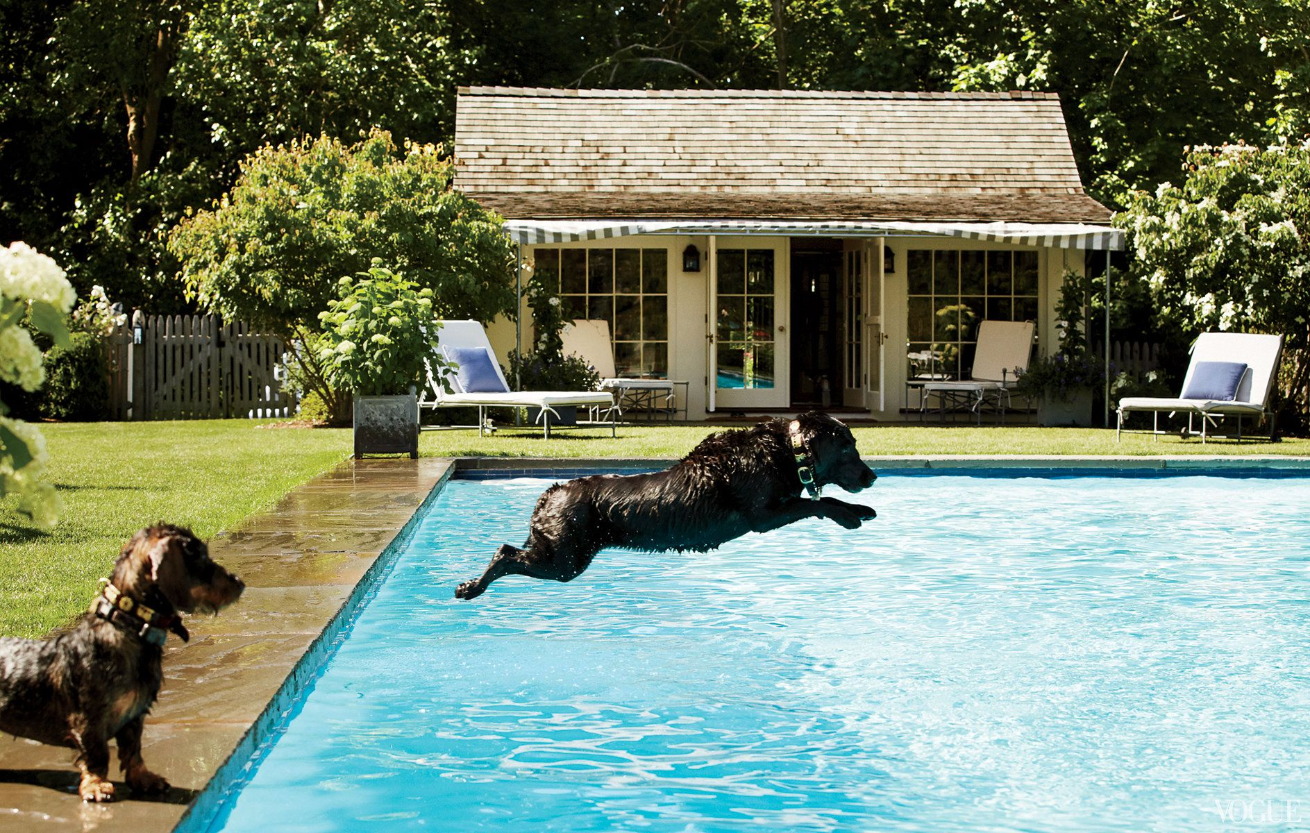 Puppy Love - Guapa, the family's black Lab, takes a leap into the pool.