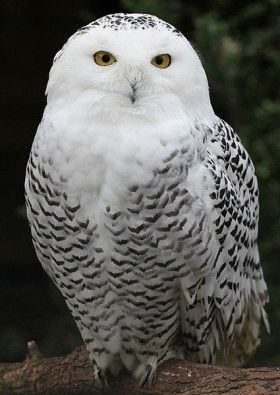 Harry Potter S Owl Hedwig Was A Beloved Creature In The Magical Harry Potter Series Snowy Owl Owl Pictures Owl
