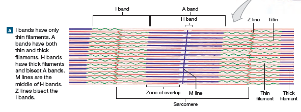 Sarcomere Structure In 2020 Anatomy And Physiology Physiology Knowledge