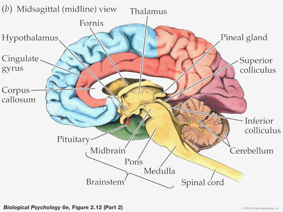 image result for labeling brain school brain anatomy. Black Bedroom Furniture Sets. Home Design Ideas