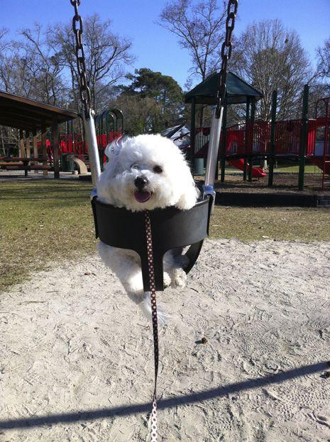 Pin On Bichon Pups