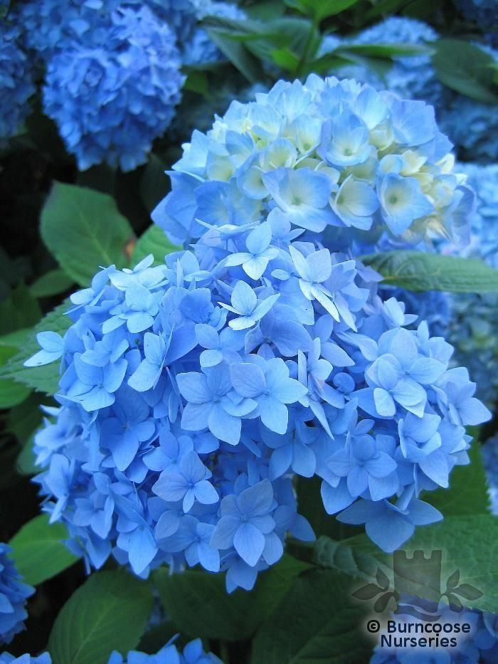 Nikko Blue Hydrangea Nikko Blue Hydrangea Hydrangea Garden Blue Hydrangea