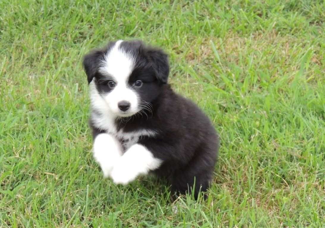 Black Bi Colored Mini Aussie Pup From Our Solita Otto Litter