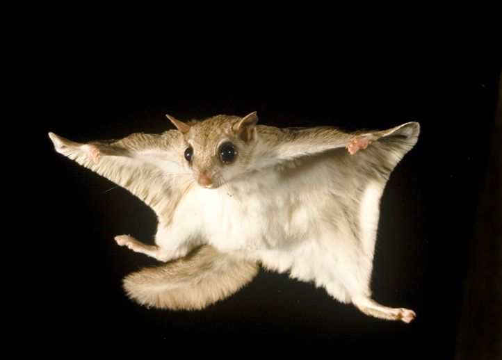 Flying Squirrels Do Not Actually Fly Although They Are Able To Stay In The Air For A Long Period Of Time When Gliding From Tr Flying Squirrel Animals Squirrel