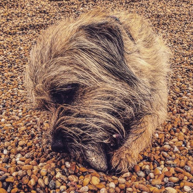 Pin By John Davies On Bt S Puppies Border Terrier Dogs