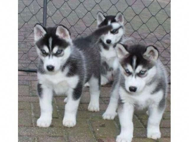Some Of The Things We Admire About The Agile Siberian Husky Pup