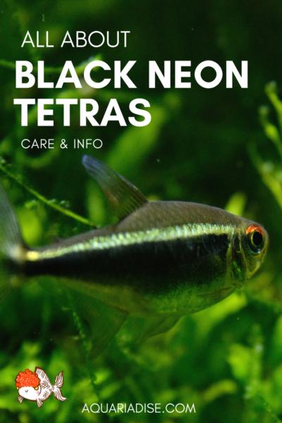Black Neon Tetra Caresheet Hyphessobrycon Herbertaxelrodi Aquariadise Neon Tetra Black Neon Tetra Fish