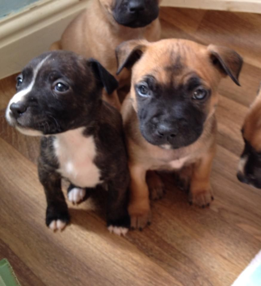 Staffordshire Bull Terrier Puppies For Sale Staffordshire Bull