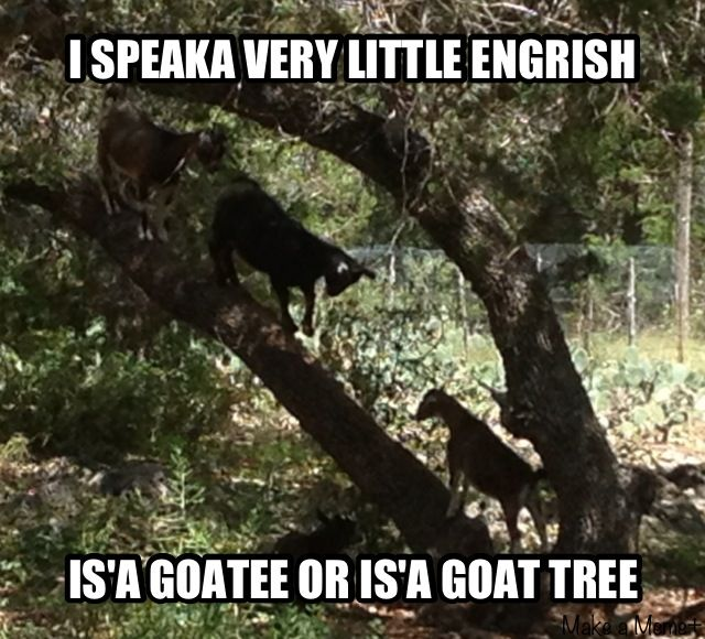 A goatee or a goat tree.   #Humor