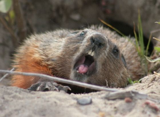 Funny Groundhog Angry Groundhog Causes Mayhem At Little