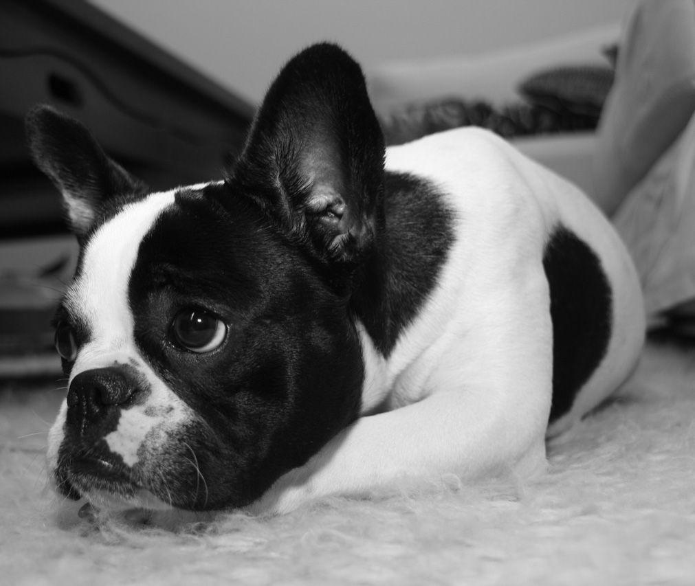 Imagenes De La Raza De Perros Bulldog Frances  Imagenes de Perros