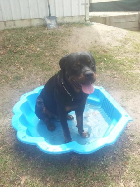 Rottweiler Male Free To Good Home Dogs Puppies Gumtree