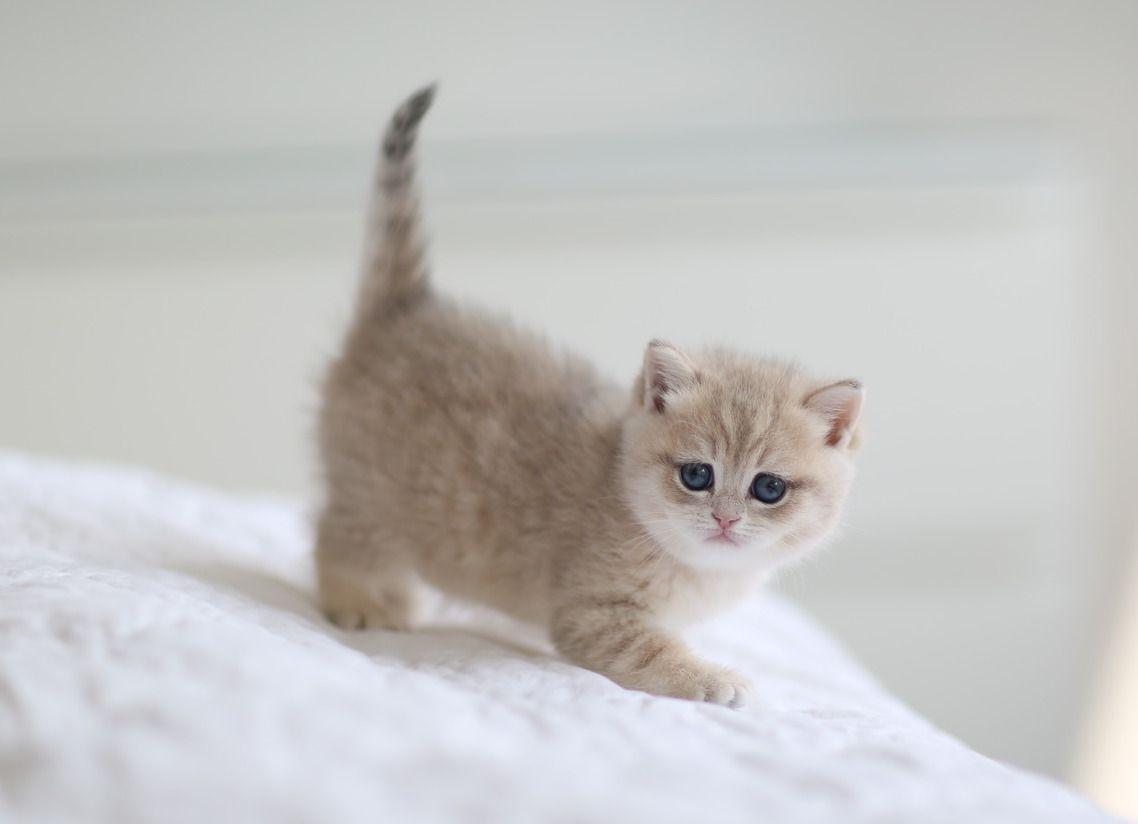 British Shorthair Chinchilla Color Kitten Blue Golden Shaded Kitten British Shorthair Kittens British Shorthair Kitten For Sale