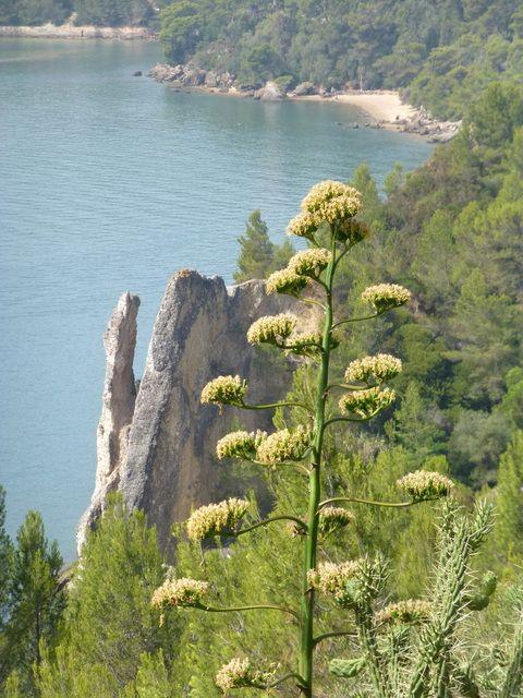 Photo Fleur D Agave Fleurs Et Plantes Portugal Cactus Toutes