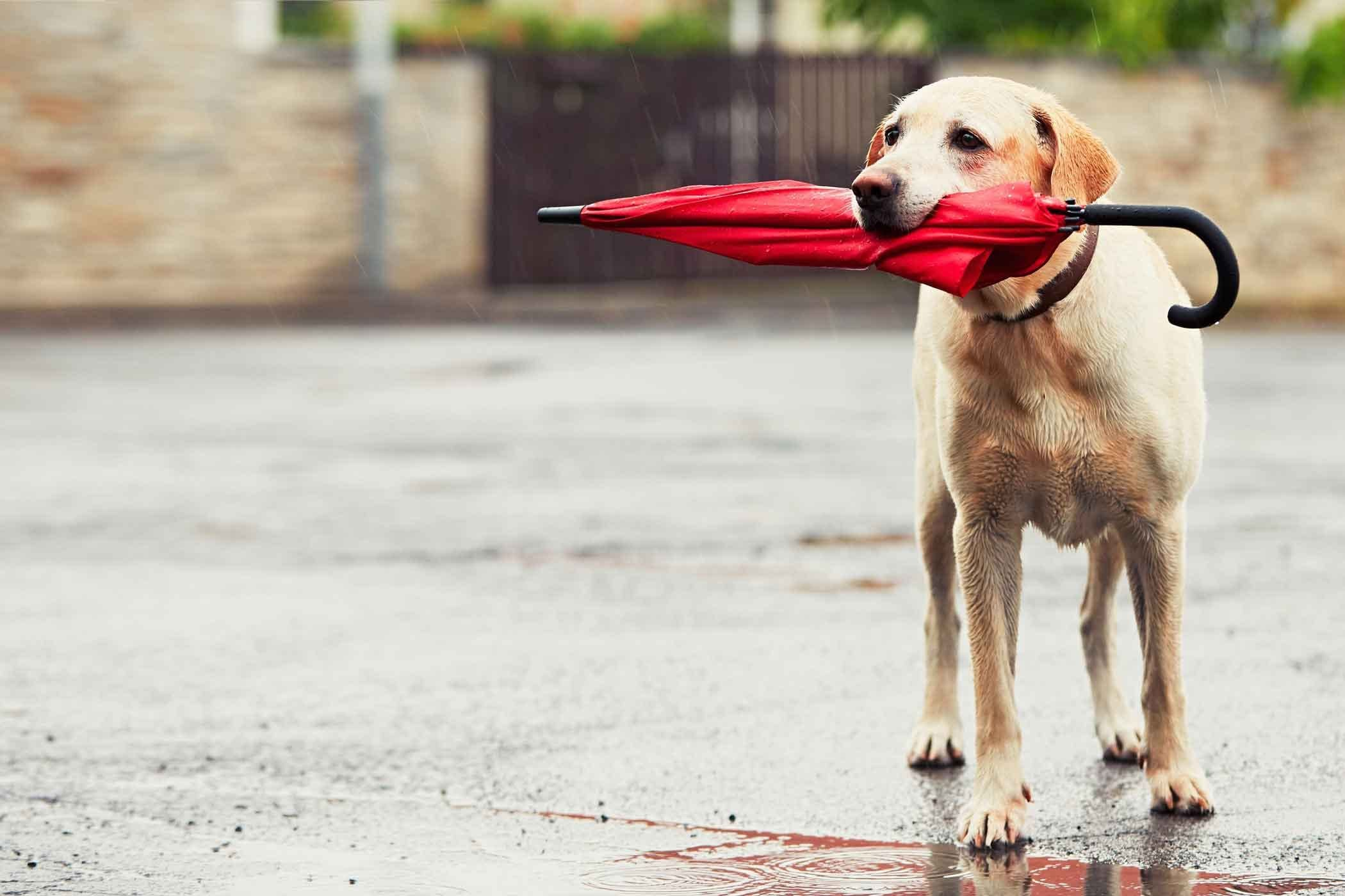 How To Train Your Dog To Carry Things Training Your Dog Easiest