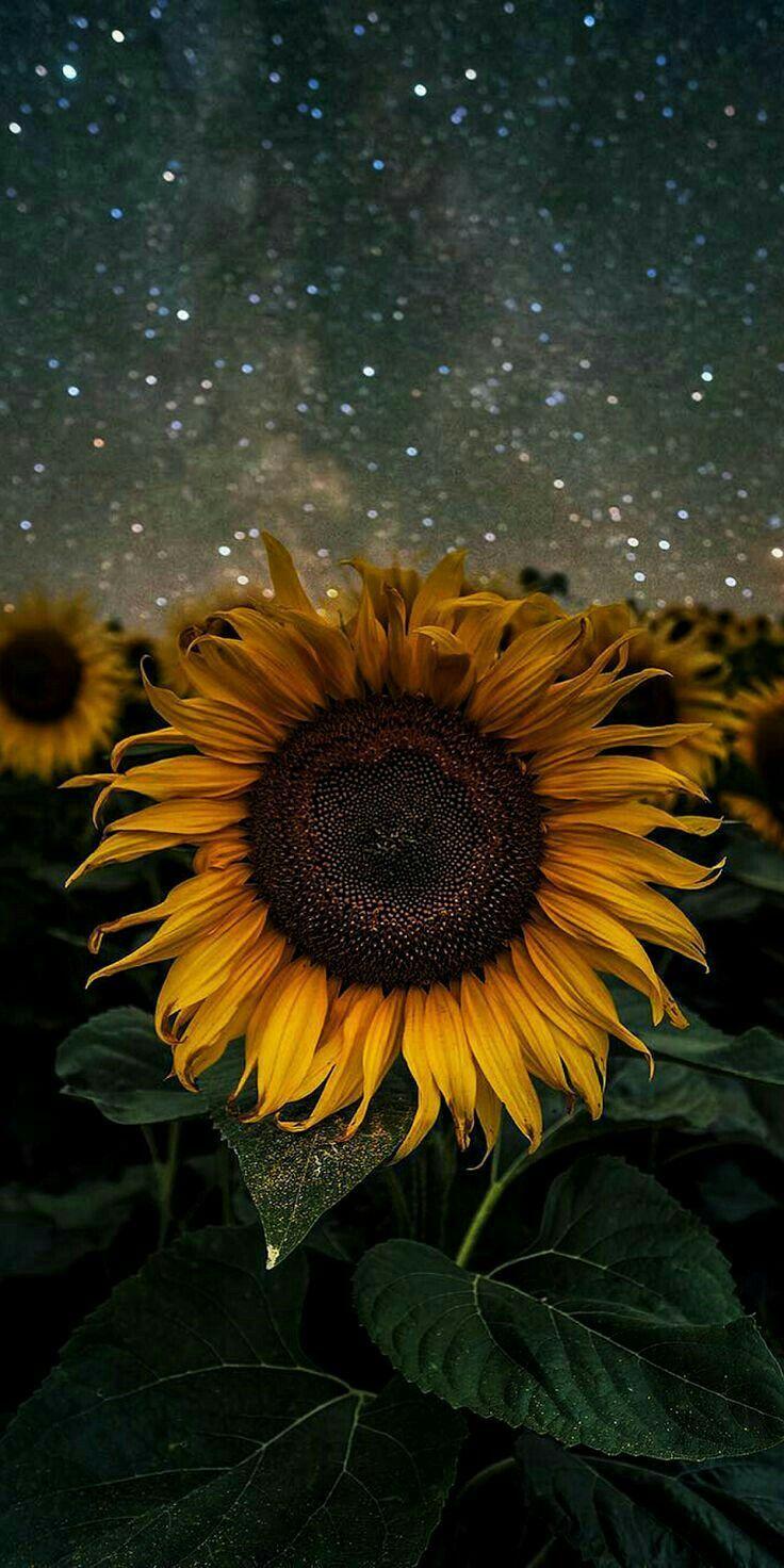 Girasol: la brillante flor que cautivó a Van Gogh es originaria de México | México Desconocido