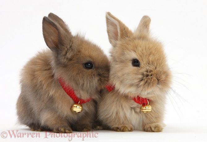 Pin By Diane Selb On Bunnies With Images Cute Baby Bunnies Christmas Animals Cute Baby Animals