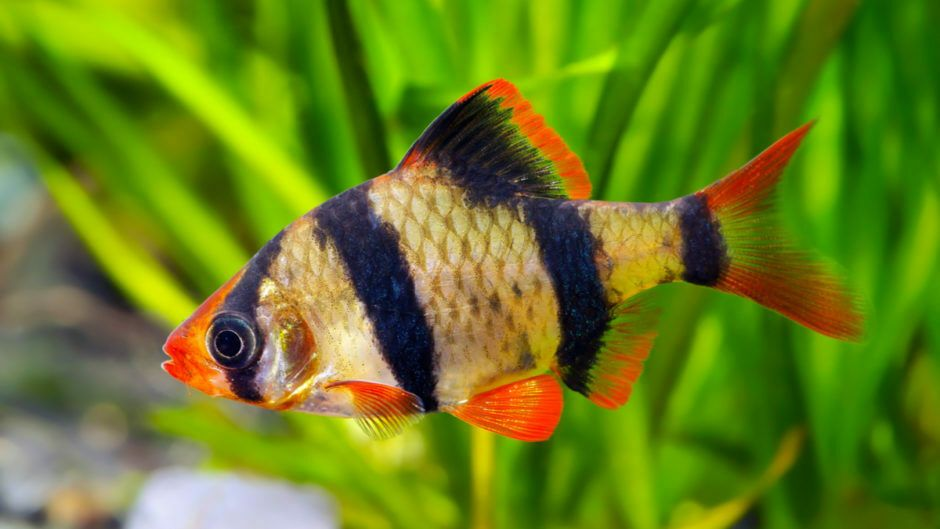 Tiger Barb Live Tropical Freshwater Aquarium Fish Tank Barbs Fresh Water Fish Tank Pet Fish Freshwater Aquarium Fish