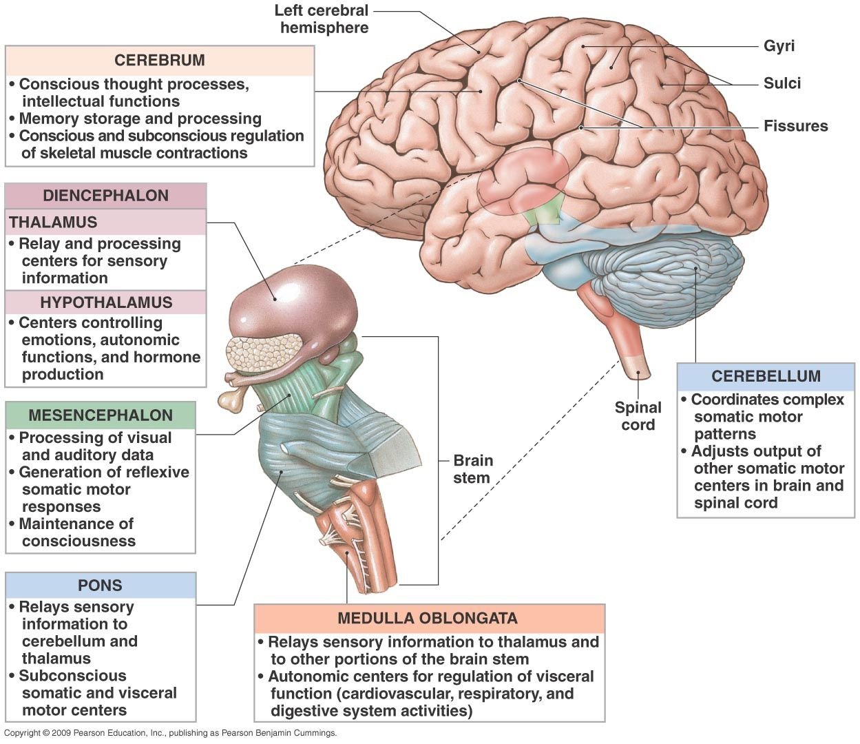 Pin by Sally Conder on Neuroscience (With images ...
