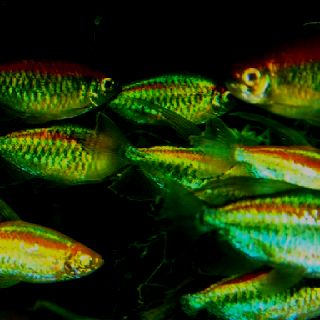 Congo Tetra School Large Tetras That Make An Impressive Group In A Planted Tank