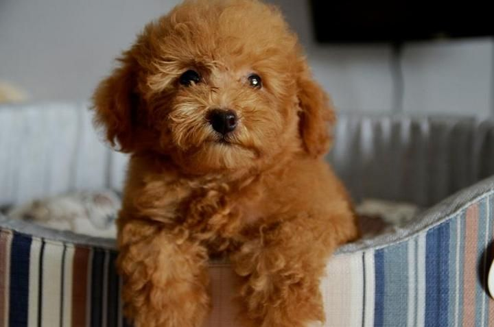 Chocolate Toy Poodle Toy Poodle Brown Teddy Bear Look Poodle
