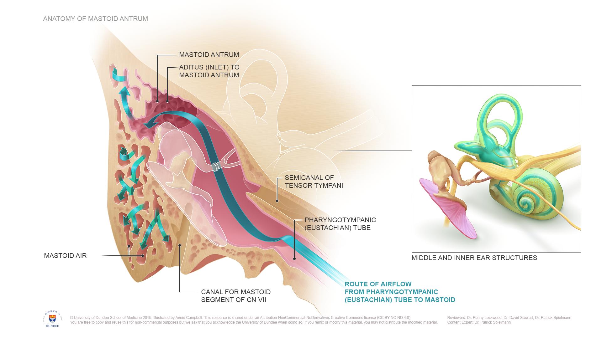 CLICK TO VIEW LARGER IMAGE | Otorhinolaryngology ...