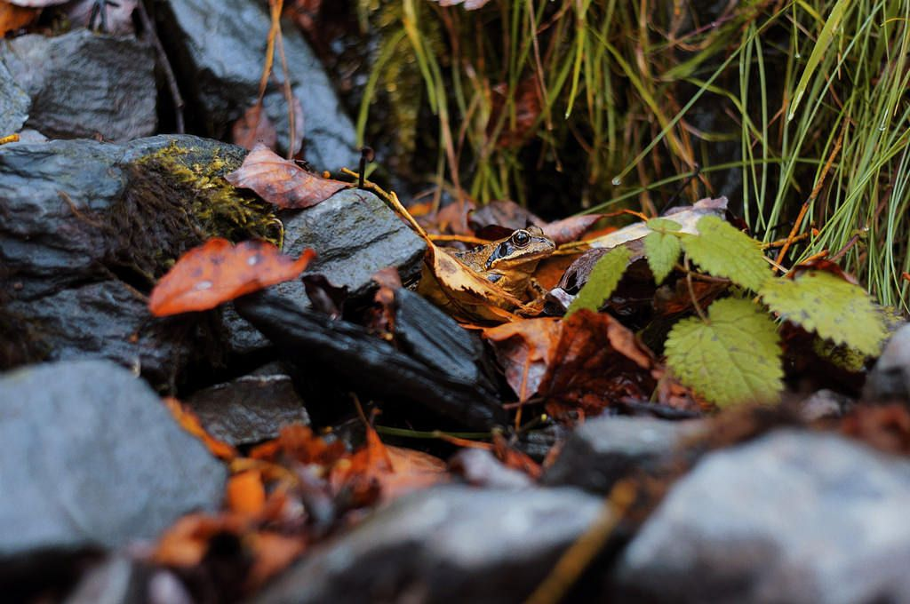 Moor Frog Among the Rocks [OC] (4912x3264) - https://www.flickr.com/photos/29036508@N05/30865770366/in/photostream/lightbox/