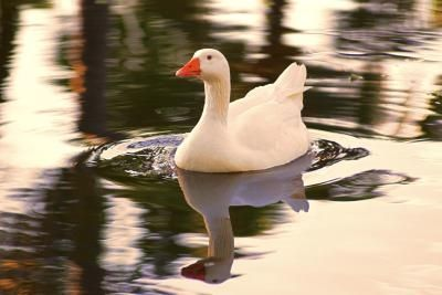 Make a Duck Harness | Pets | Baby ducks, Dogs, Pets