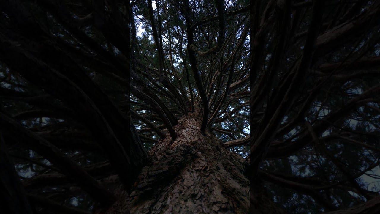 Giant redwood sequoiadendron giganteum canopy