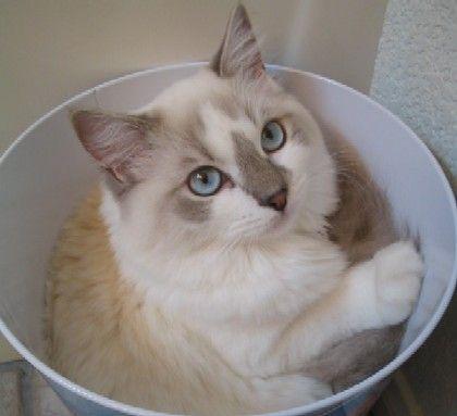 ragdoll cats - Bing Images
