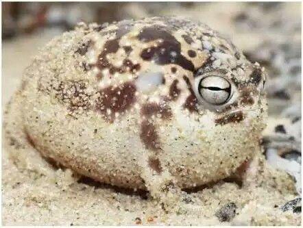 アメフクラガエル カエル画像まとめ アマガエル フクラガエル