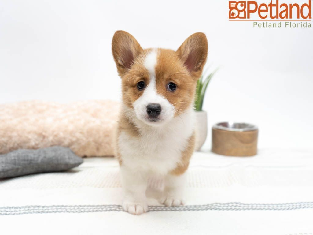 Petland Florida Has Pembroke Welsh Corgi Puppies For Sale Check Out All Our Available Puppies Pembrokewelshcorg Puppy Friends Corgi Puppies For Sale Corgi