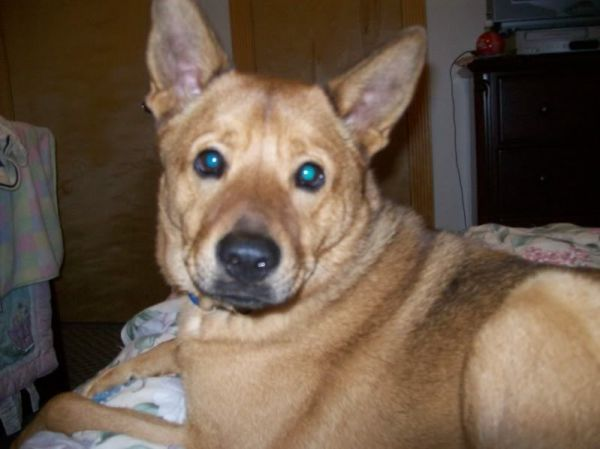 Shepherd/Chow Mix, needs new home loves to cuddle, and