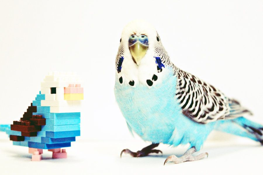 Billy Meet Nanoblock Budgie By Paper Bag Kingdom D4bg7co Jpg 900 600 Budgies Pet Birds Beautiful Birds