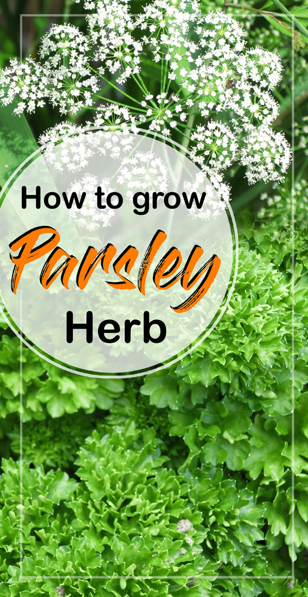 How To Grow Parsley Growing Parsley In Pots Nature Bring Naturebring In 2020 Growing Parsley Planting Herbs Herbs