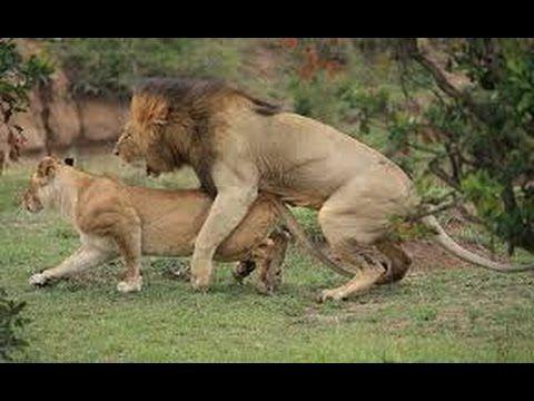 Vida de le n apareamiento y nacimiento dar animals pinterest nacimiento le n y vida - Leones apareamiento ...