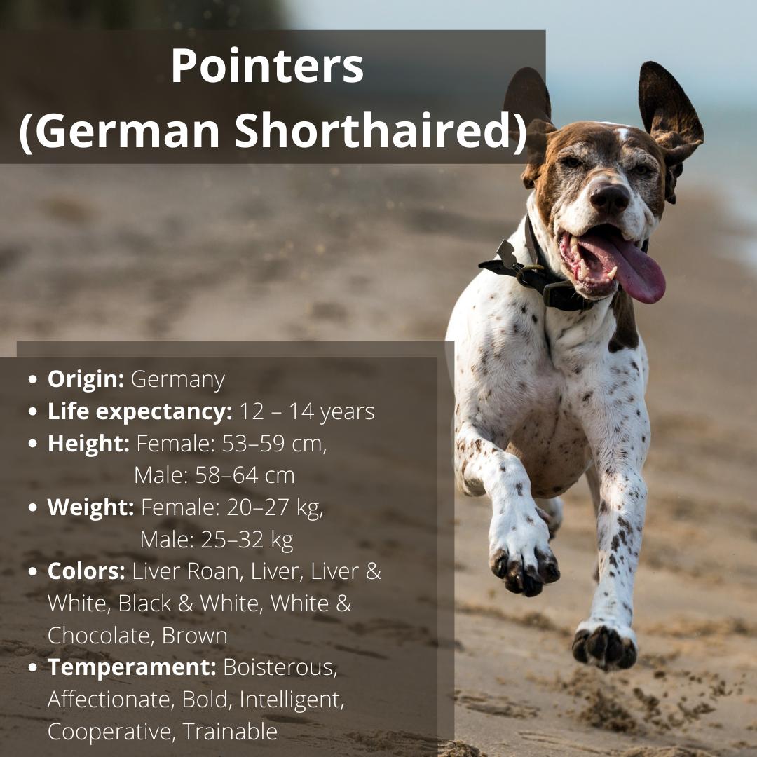 Origin: Germany Life expectancy: 12 – 14 years Height: Female: 53–59 cm, Male: 58–64 cm Weight: Female: 20–27 kg, Male: 25–32 kg . #germanshorthaired #pointers #gsp #germanshorthairedpointer #gspofinstagram #gsplove #gspoftheday #pointer #gsppuppy #gspcommunity #birddog #gsplife #dogsofinstagram #pointersofinstagram #gspdaily #germanshorthairedpointers #germanshorthairedpointerworld #pointerpuppy #germanshorthairedpointersofinstagram #gspworld #birddogoftheday #germanshorthair