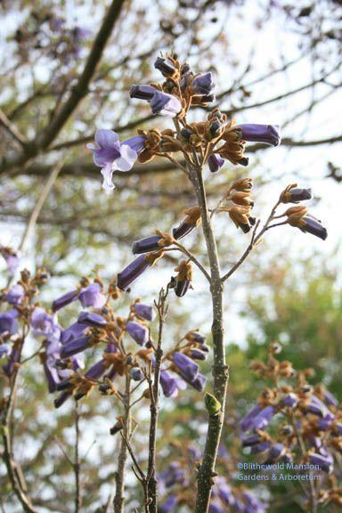 Paulownia tomentosa - empress tree flowers
