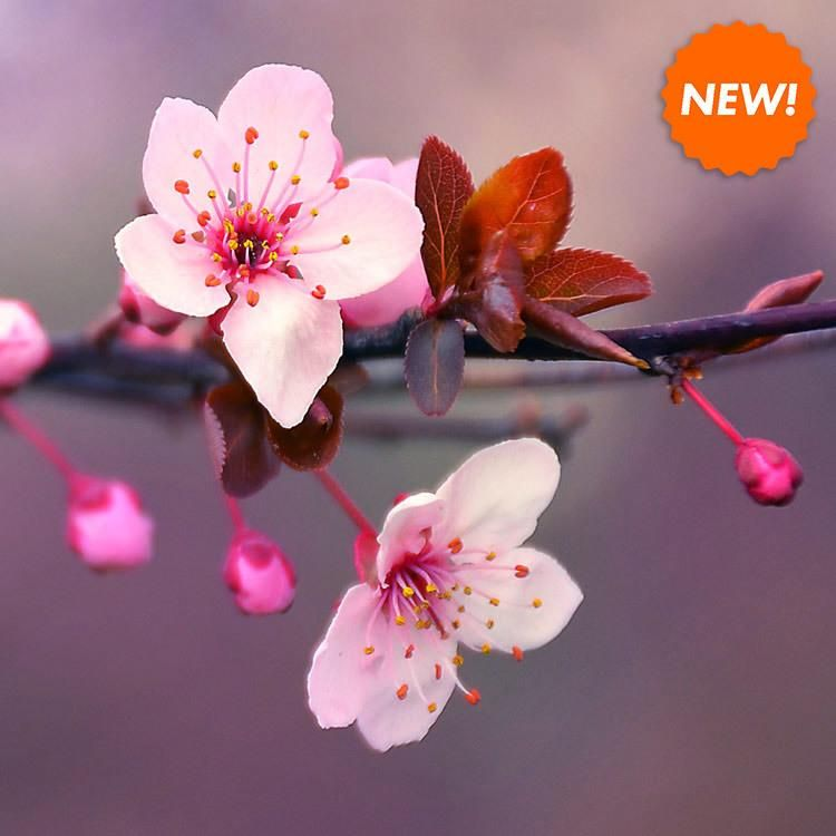 Our Japanese Cherry Blossom Candle Is A Fresh Take On A Classic Spring Scent Blooming Cherry Cherry Blossom Fragrance Japanese Blossom Cherry Blossom Flowers