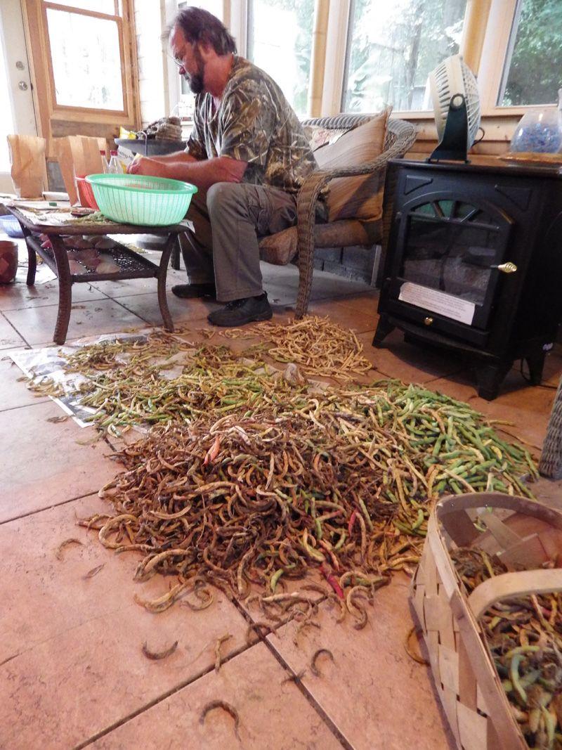 Saving Green Bean Seeds.