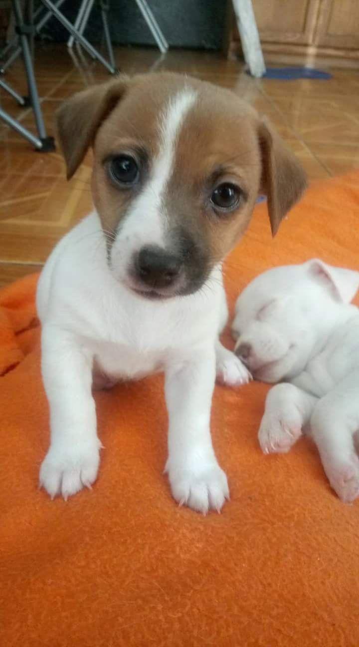 Facebook Jack Russell Terrier Lovers Hunderassen Kleine Hunde Hunderassen Und Hunde Rassen