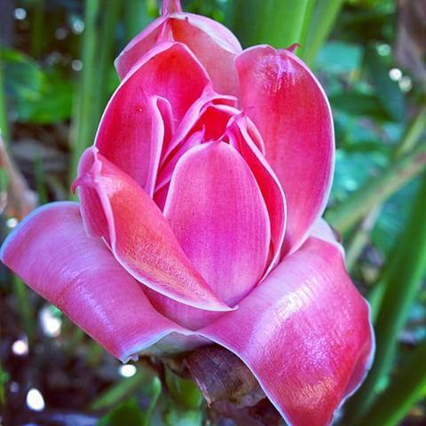 Etlingera Elatior #etlingera #elatior #rosedeporcelaine #torchginger #ginger #pink #gardeningaustraliamag #gardening #garden #gardens #jardins #flower #flowering #flowers #fleurs #Flores #fiori #tropical #tropicalplants #tropicalflowers #tropicalflower #flowerpower #instaflowers #insta_flowers