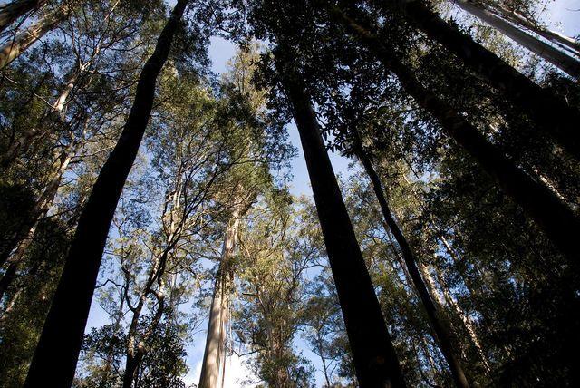 The Eucalyptus Regnans, the World's Tallest Hardwood Tree in Tasmania